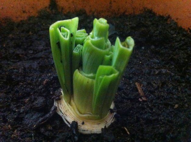 How to regrow a leek in our kitchen 3