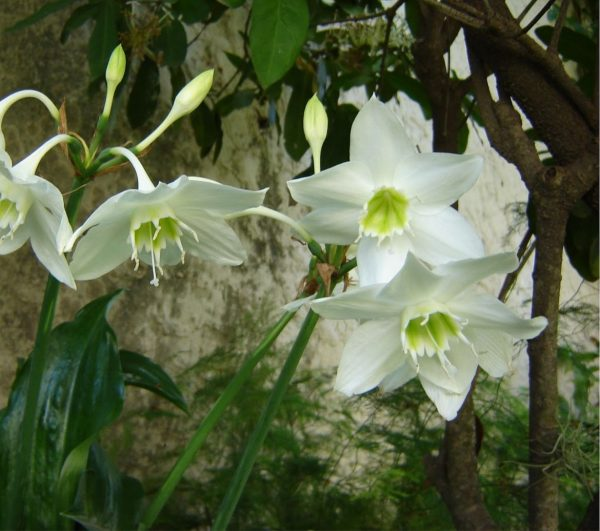 Characteristics and cultivation of the lily of the Amazon 1