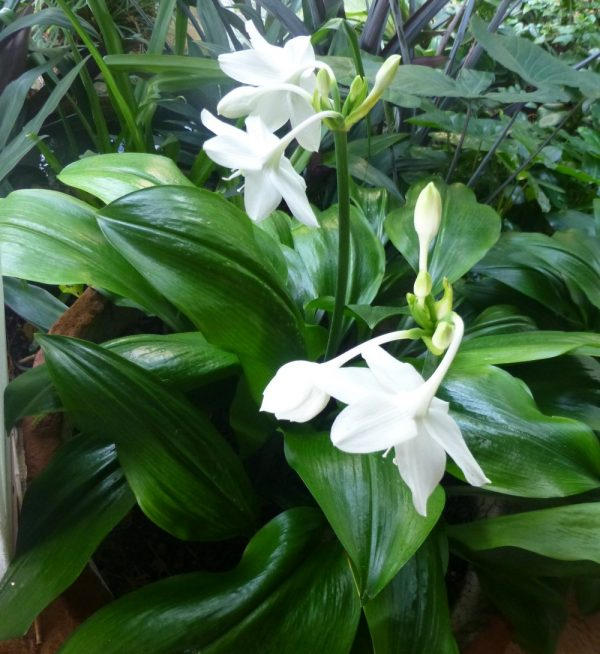 Characteristics and cultivation of the lily of the Amazon 2