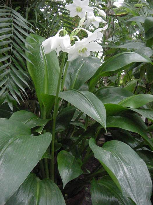 Characteristics and cultivation of the lily of the Amazon 3