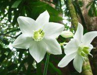 imagen Características y cultivo del lirio del Amazonas