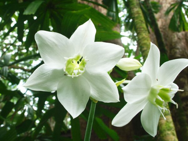 Characteristics and cultivation of the lily of the Amazon 5