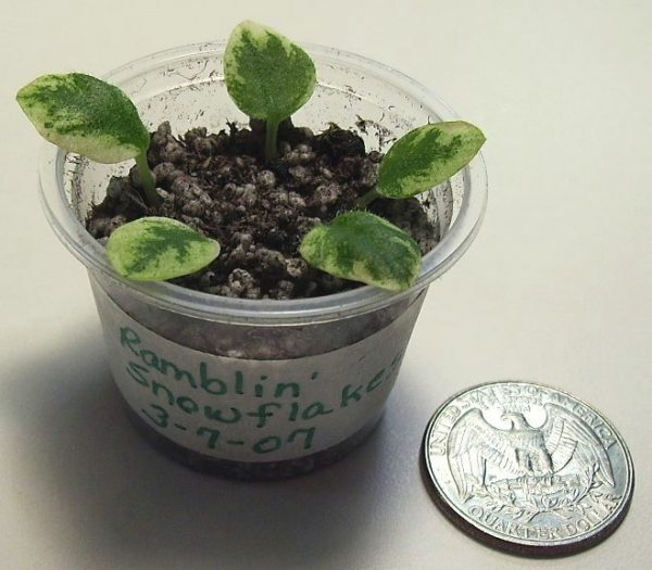 How to propagate the african violet from its leaves 1