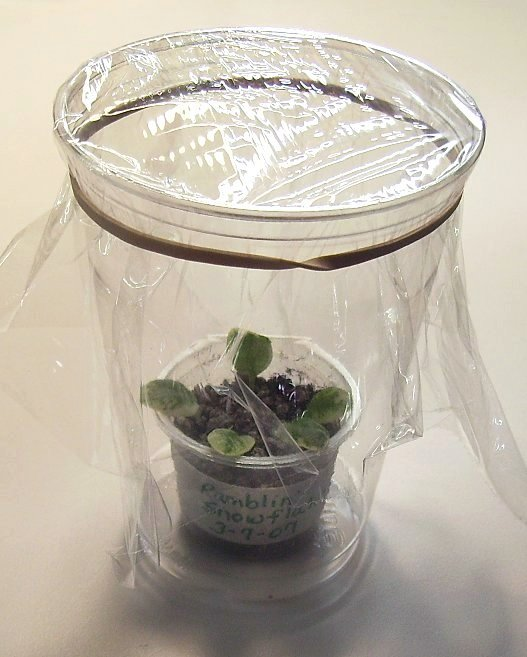 How to propagate the african violet from its leaves 2