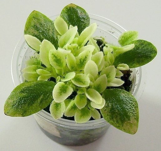 How to propagate the african violet from its leaves 4