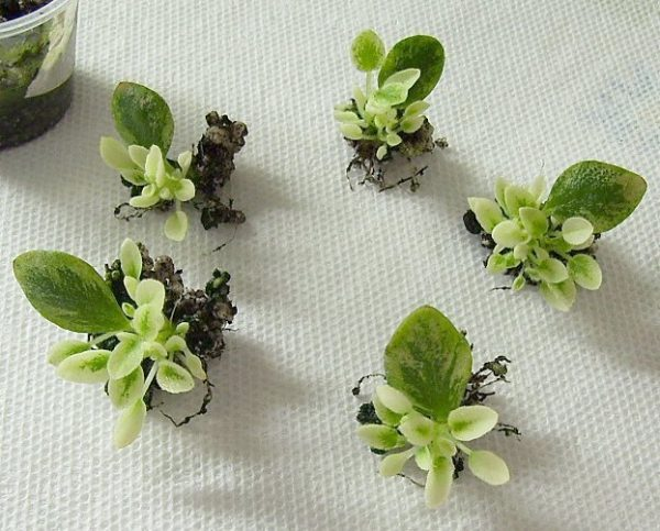 How to propagate the african violet from its leaves 5