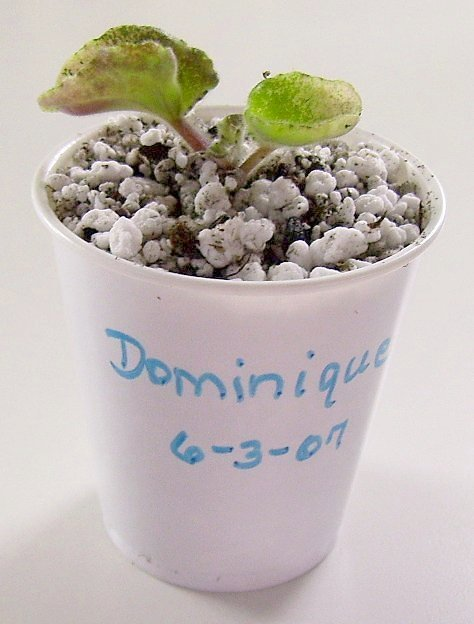 How to propagate the african violet from its leaves 14