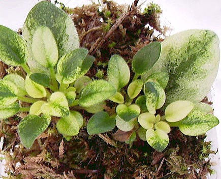 How to propagate the african violet from its leaves 18