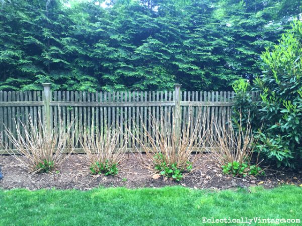 How to recover your hydrangeas after the winter 3