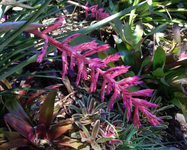 Know the plant vessel or Aechmea distichantha 3