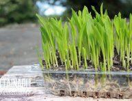 imagen Cultiva brotes tiernos o microgreens de maíz