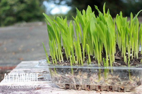 Grown tender shoots or microgreens corn 1