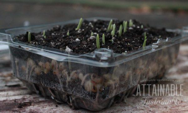 Grown tender shoots or microgreens corn 3