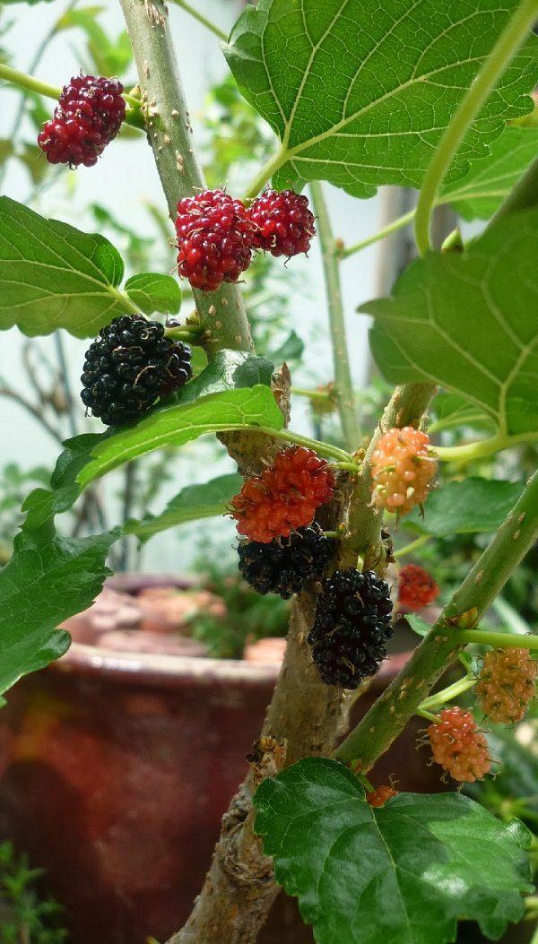cultiva moras en maceta