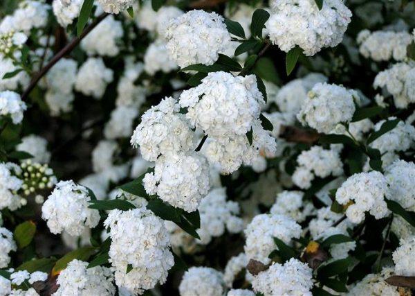 Growing the bridal Wreath or Spirea in Japan 2