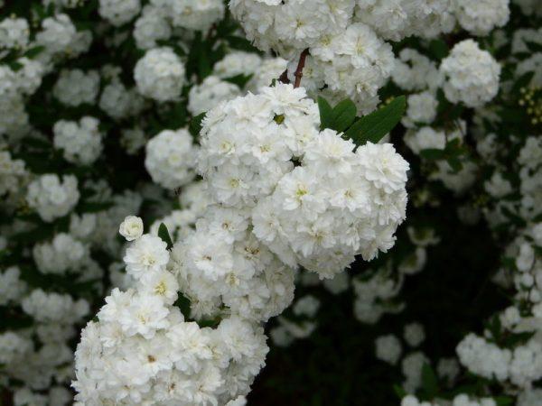 Growing the bridal Wreath or Spirea in Japan 3