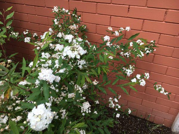 Growing the bridal Wreath or Spirea in Japan 4