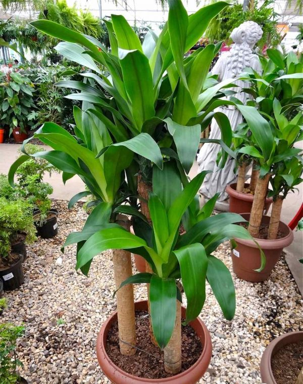 Cultivation of the madagascar dragon tree or Trunk of the Brazil 4