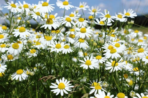 Collection and cultivation of chamomile 1