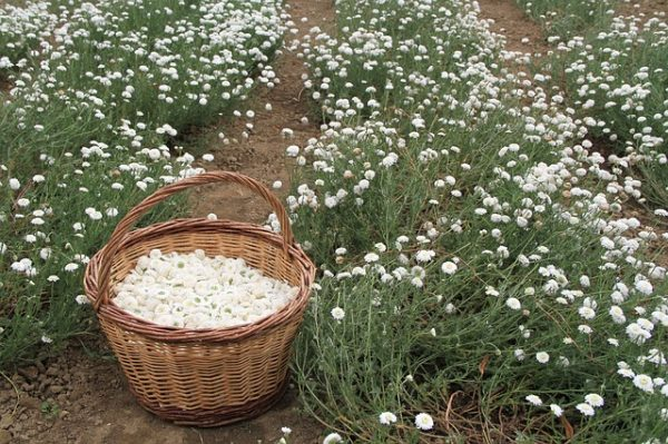 Collection and cultivation of chamomile 2