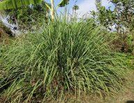 imagen Cultivo y usos de la hierba limón o citronela