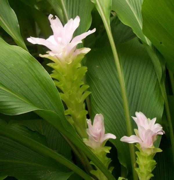 Cultivate turmeric in pot 2