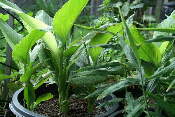Cultivate turmeric in pot 3