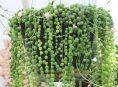imagen Cuidados y cultivo de la planta rosario