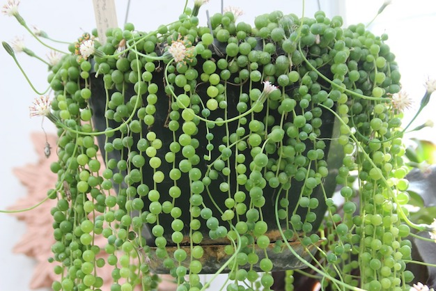 Care and cultivation of the plant rosary 1