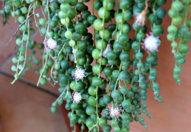 Care and cultivation of the plant rosary 5