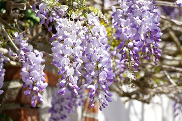 How to make wisteria bloom 1