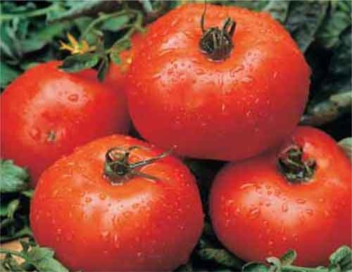 Varieties of tomatoes to grow in pots 27