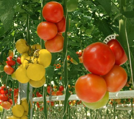 Varieties of tomatoes to grow in pots 11