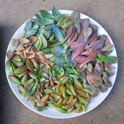 How to prepare mandalas with leaves of succulent 3