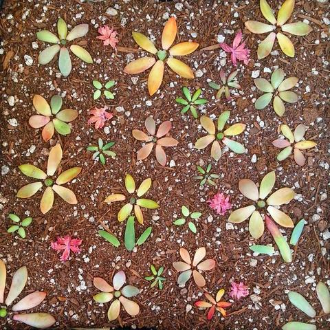 How to prepare mandalas with leaves of succulent 6