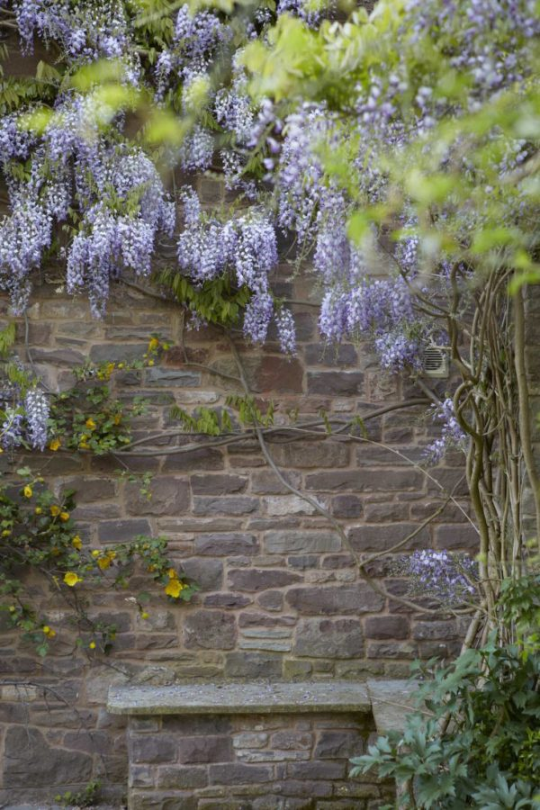 How to make wisteria bloom 2