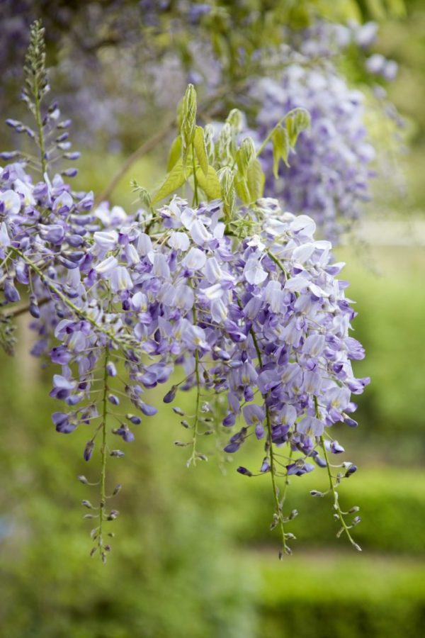 How to make wisteria bloom 3