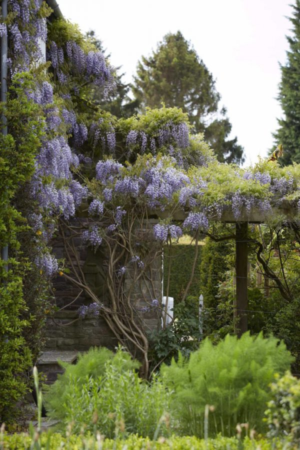 How to make wisteria bloom 4