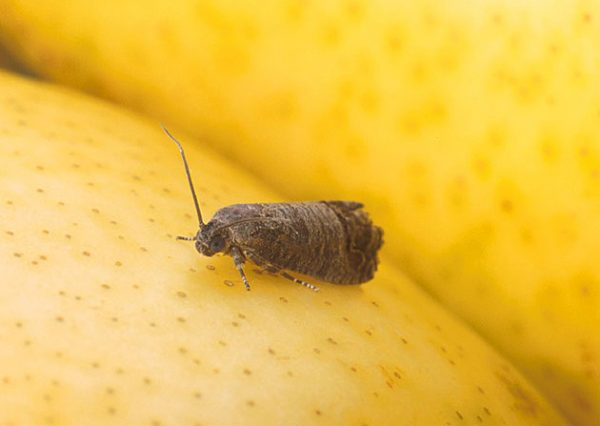 The three great pests of the apple tree 2