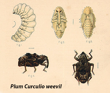 The three great pests of the apple tree 4