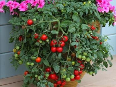 variedades de tomates para cultivar en maceta