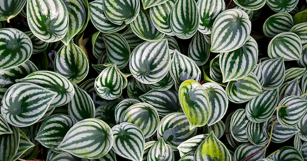Care and cultivation of peperomia 4