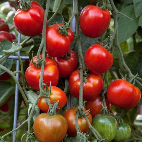Varieties of tomatoes to grow in pots 22