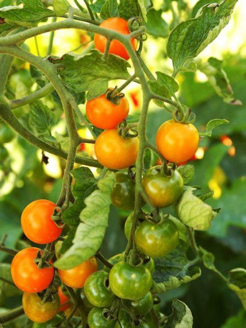 Varieties of tomatoes to grow in pots 14