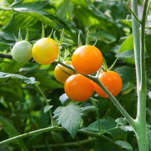 Varieties of tomatoes to grow in pots 10