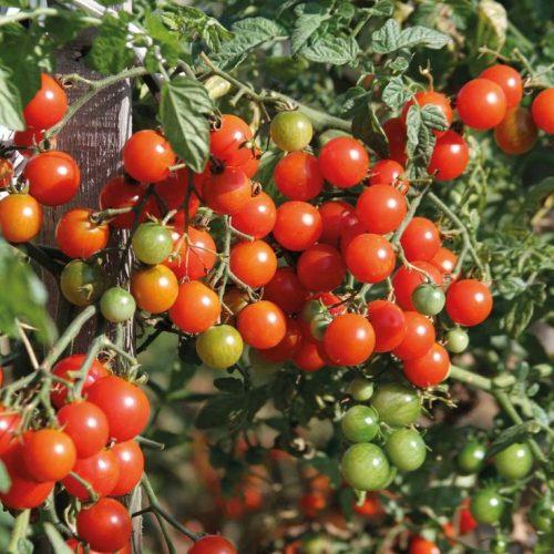 Varieties of tomatoes to grow in pots 13