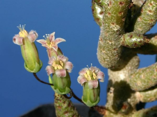 You know the succulent Tylecodon buchholzianus 4