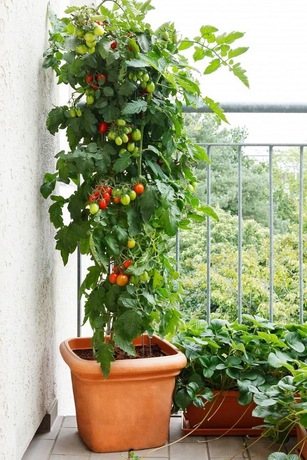 Variedades de tomates para cultivar en maceta - Tomates cherry en maceta ...