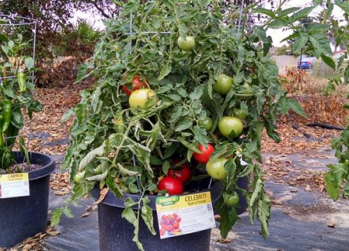 Varieties of tomatoes to grow in pots 5