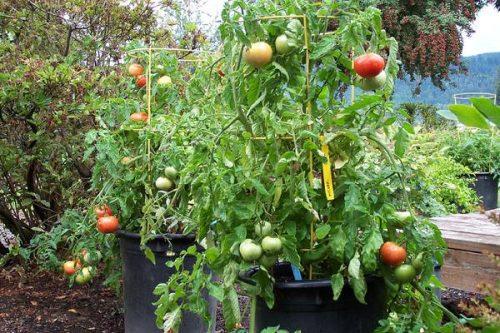 Varieties of tomatoes to grow in pots 6